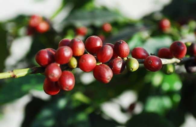咖啡树种植条件