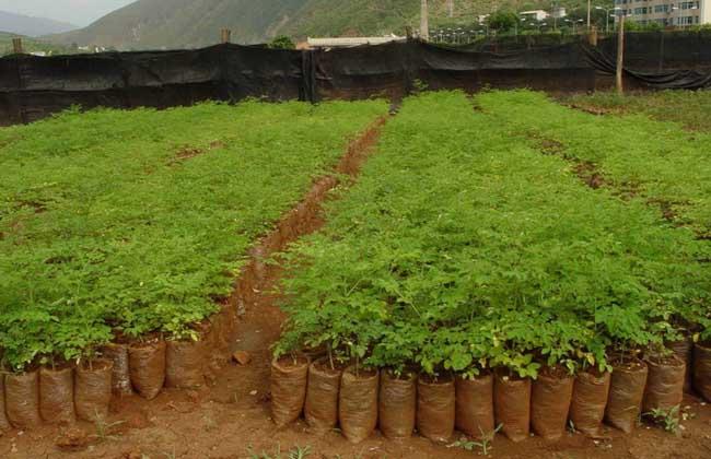 辣木的种植条件