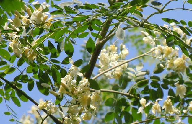 辣木树种植技术