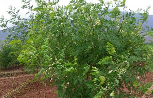 辣木的种植前景