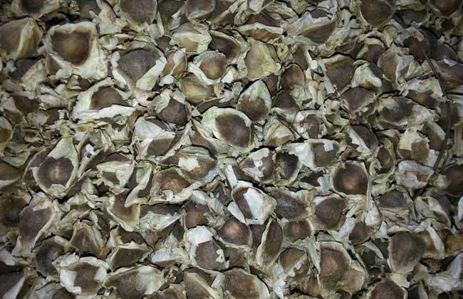 辣木籽可以长期吃吗