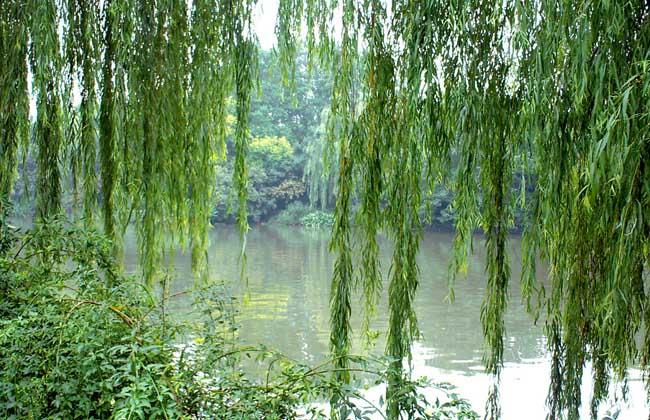 柳树种类图片