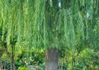 柳树的作用有哪些?