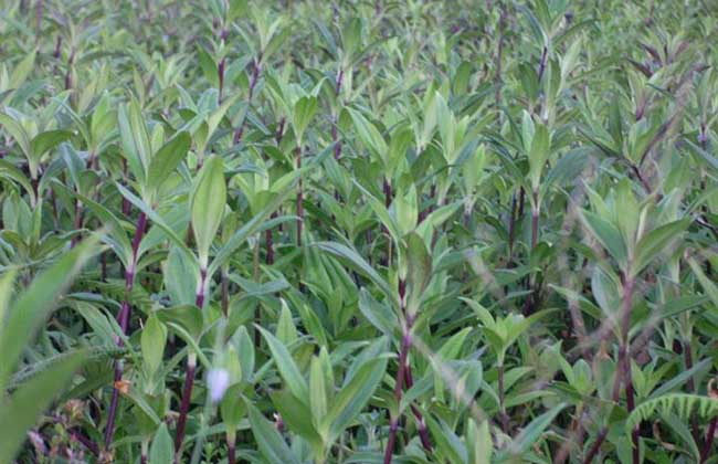龙胆草的繁殖方法