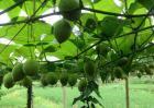 罗汉果种植技术视频