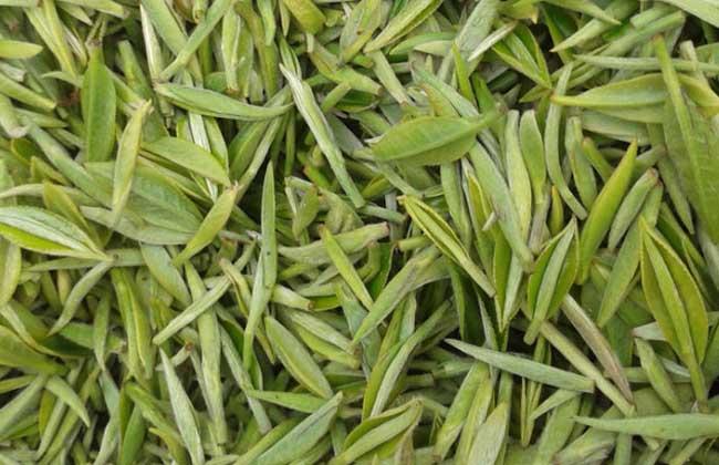 信阳毛尖是绿茶吗?