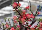 盆栽梅花怎么养?