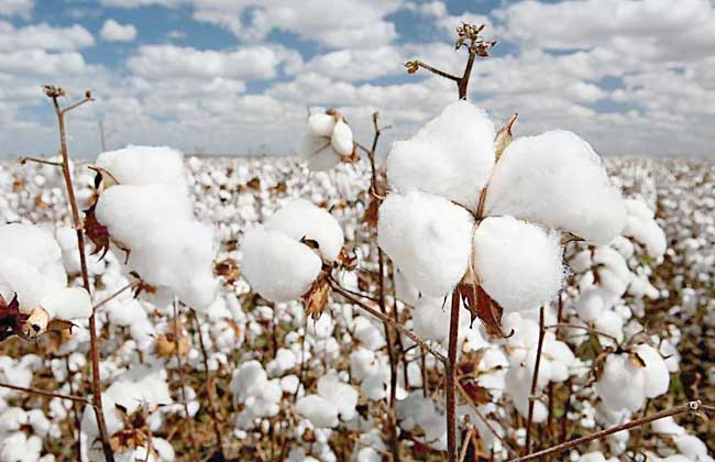 我国只有可供充填枕褥的木棉,没有可以织布的棉花,我国五大商品棉基地