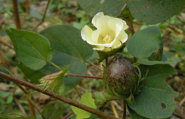 高产棉花品种