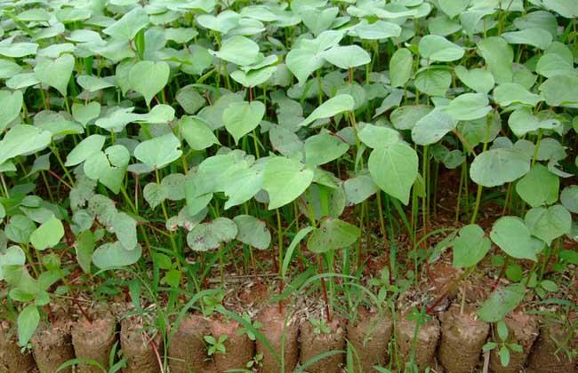 棉花种植时间
