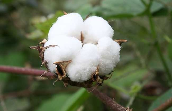 棉花的用途有哪些?