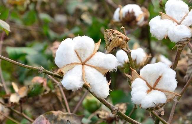 棉花的用途