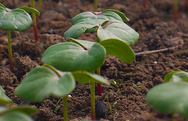 棉花种子育苗技术