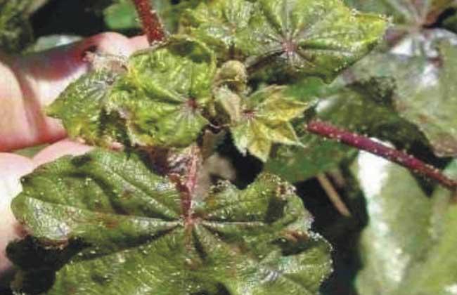 棉花蚜虫的防治方法