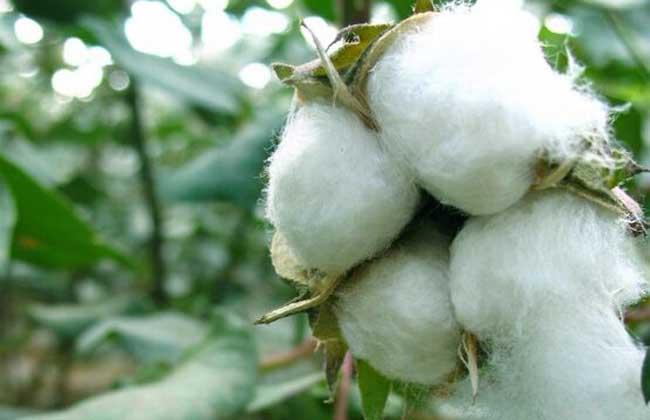 棉花种植条件