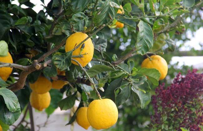 柠檬产地在哪里?