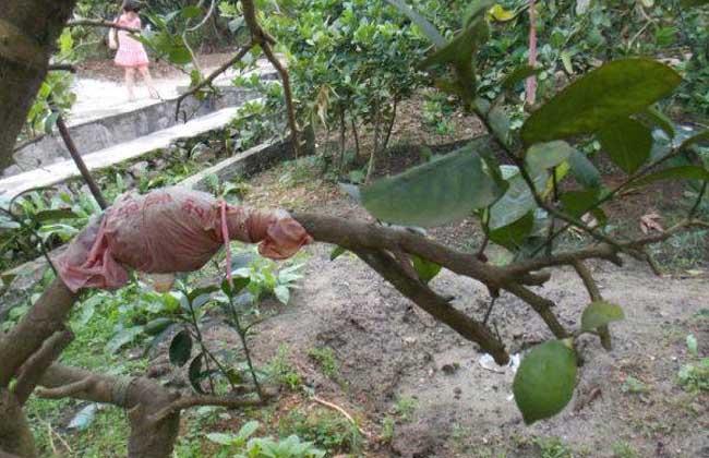柠檬树繁殖技术