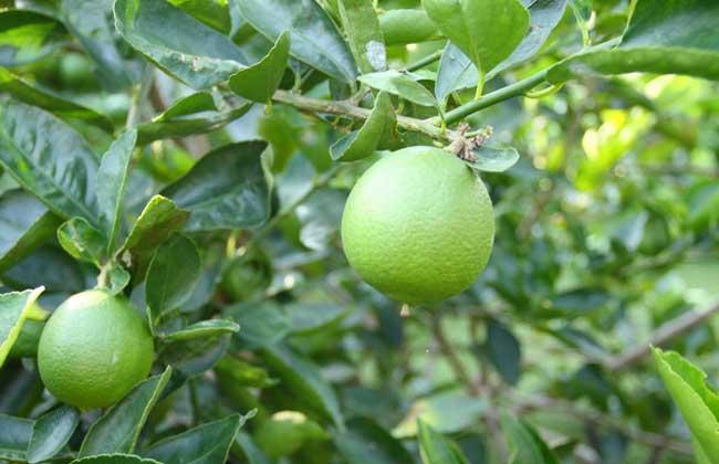 柠檬种植技术视频