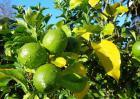 柠檬树种植技术