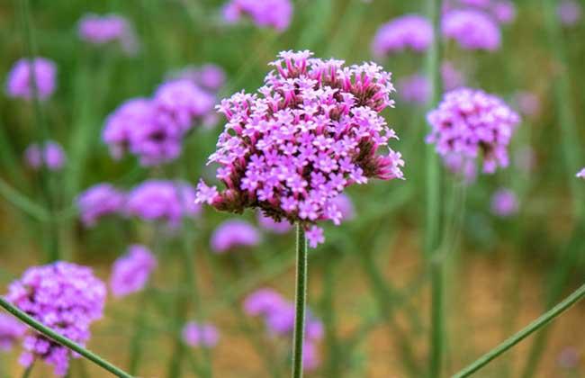 马鞭草什么时候开花