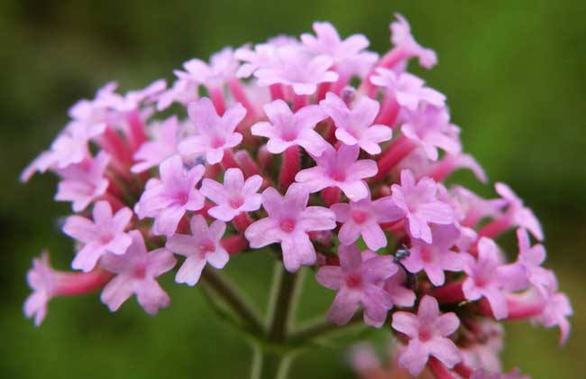 马鞭草科植物有哪些