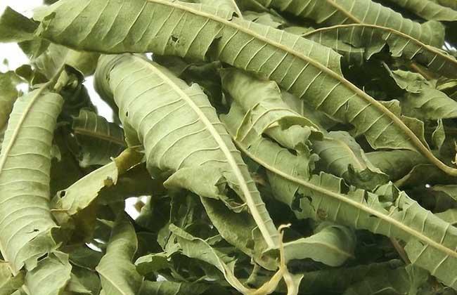 柠檬马鞭草的功效与作用