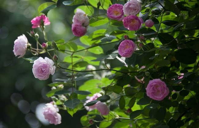 蔷薇花什么时候开