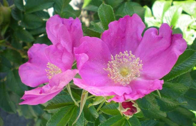 蔷薇花什么时候开?