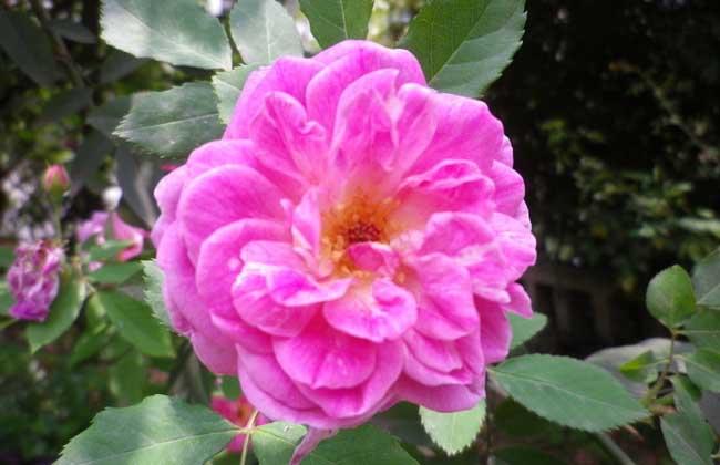 蔷薇花养殖方法和注意事项