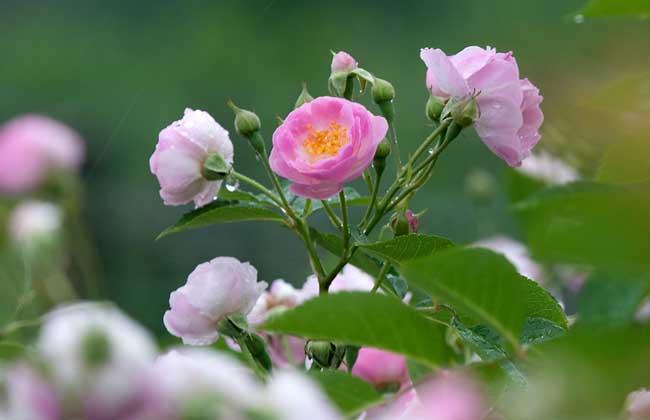 蔷薇种子怎么种?