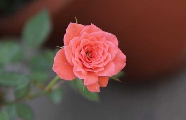 蔷薇花种类图片大全