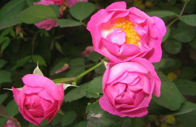 玫瑰和蔷薇的区别
