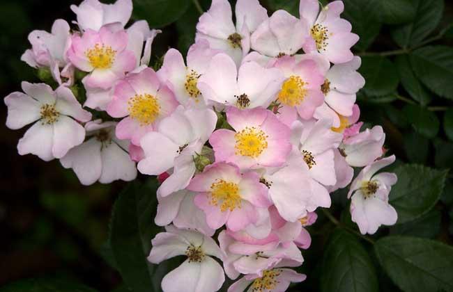 月季和蔷薇的区别