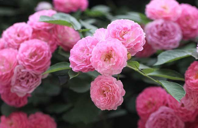 蔷薇不开花的原因