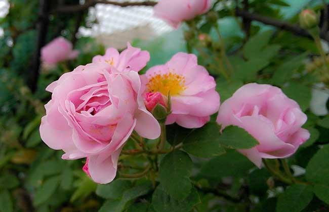 盆栽蔷薇花怎么养