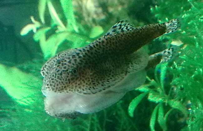 清道夫鱼吃什么食物