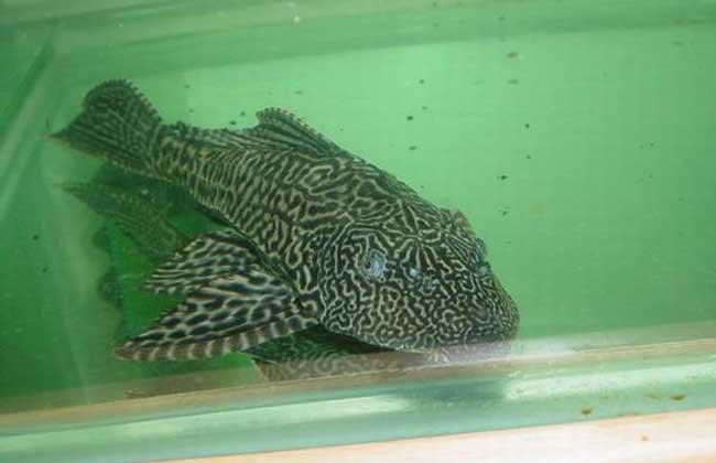 清道夫鱼怎么饲养