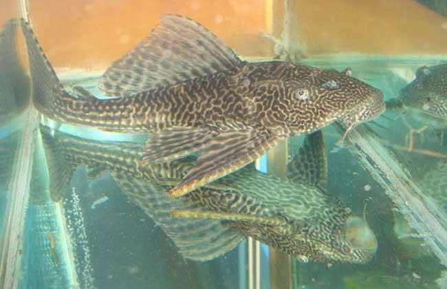 清道夫鱼怎么繁殖?