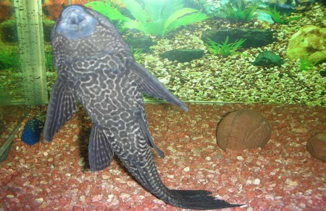 清道夫鱼品种图片