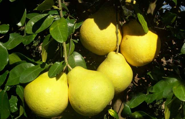 沙田柚的营养价值