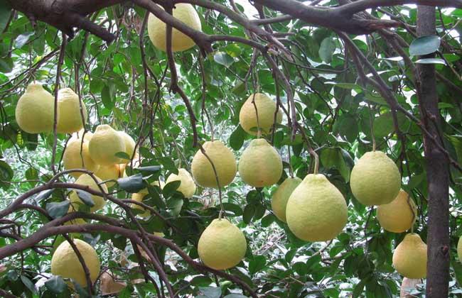 沙田柚价格多少钱