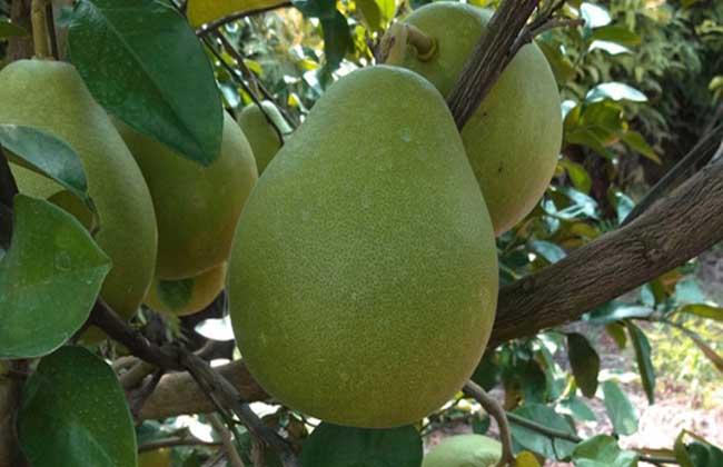 沙田柚什么时候成熟?