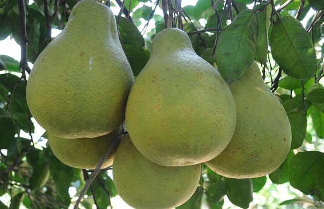 孕妇能吃沙田柚吗