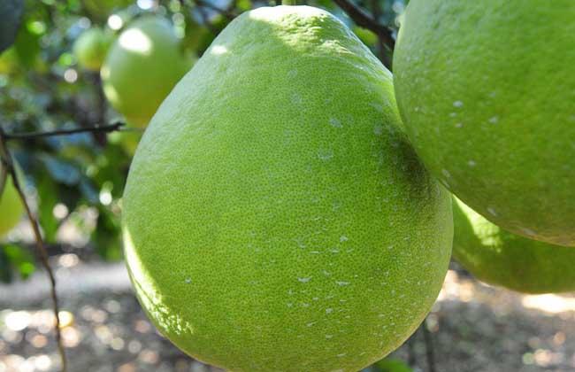 沙田柚和蜜柚的区别