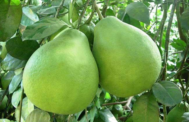 沙田柚种植技术视频