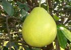 沙田柚的功效与作用