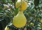 孕妇能吃沙田柚吗?