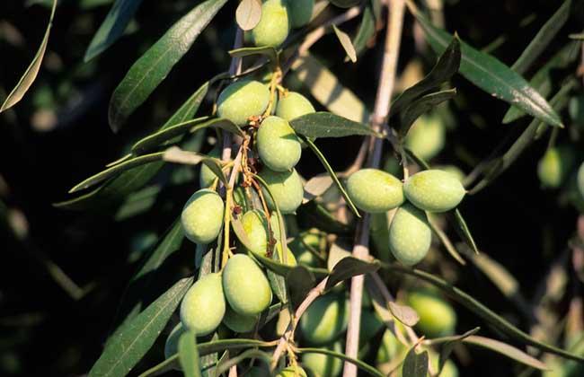 橄榄产地在哪里