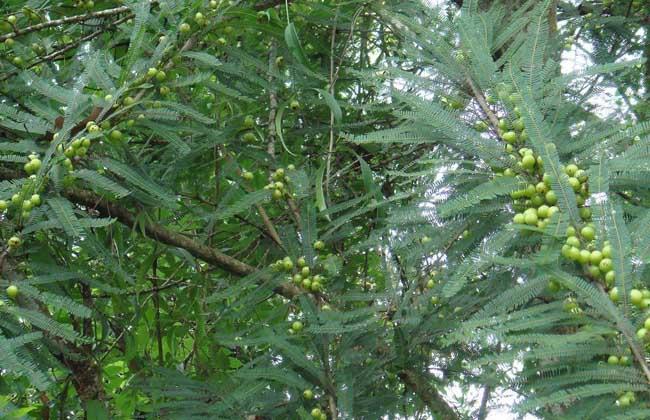 橄榄树种植技术