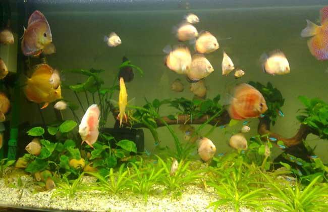 七彩神仙鱼怎么养